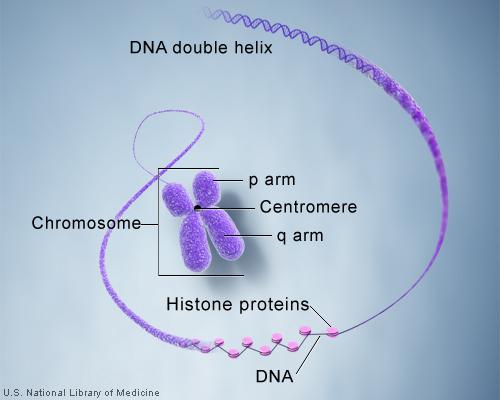 a chromosome