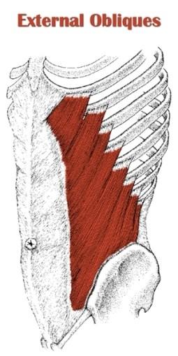 abdominal external oblique muscle