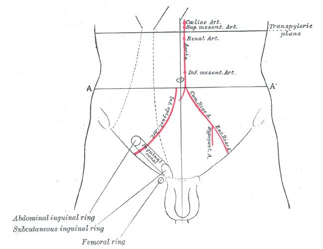 abdominal ring