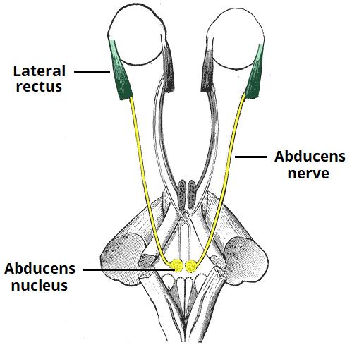 abducent nerve