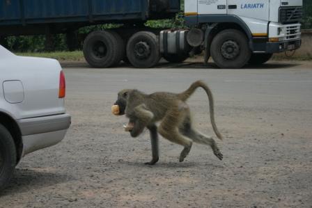 baboonery