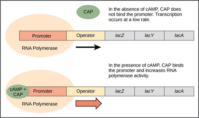 catabolite gene activator protein
