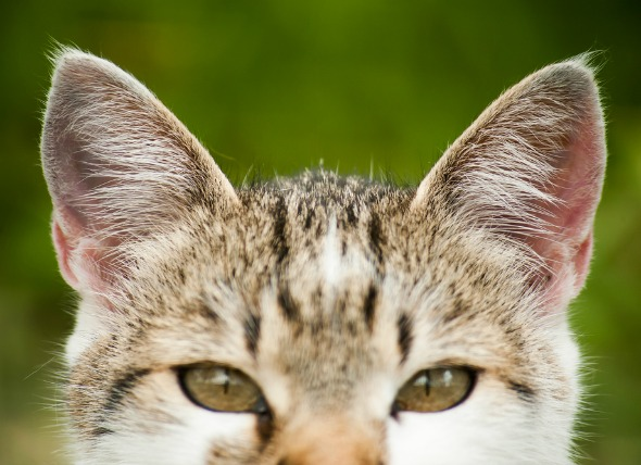 cat's-ear