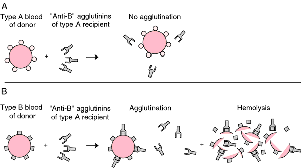 cross-reacting agglutinin