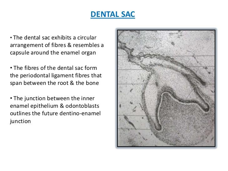 dental sac