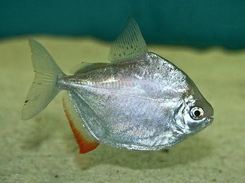 dollarfish