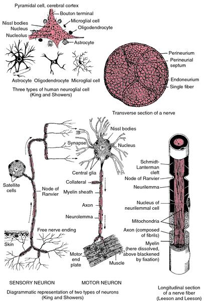 excitoreflex nerve