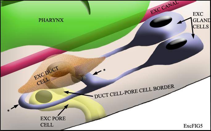 excretory gland