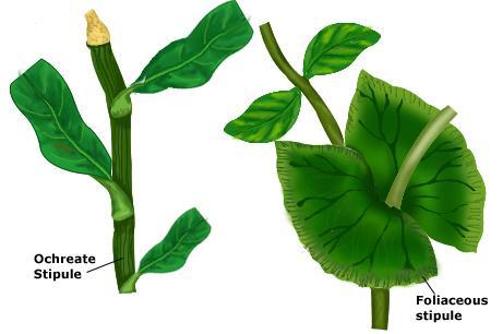 foliaceous