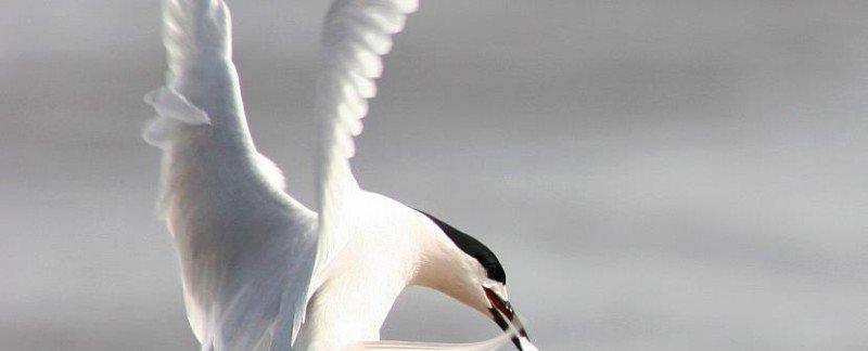 kahawai bird