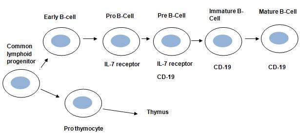 leukocytopoiesis