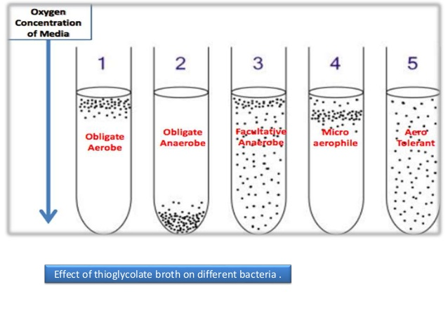 microaerophile