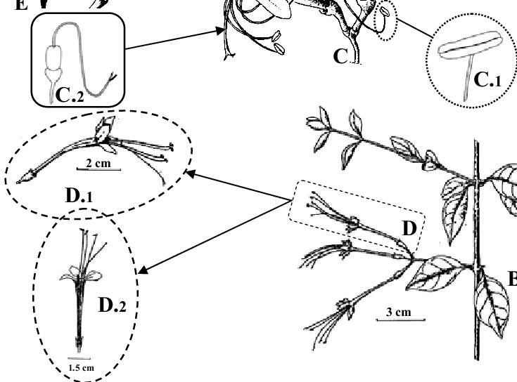 microphanerophyte