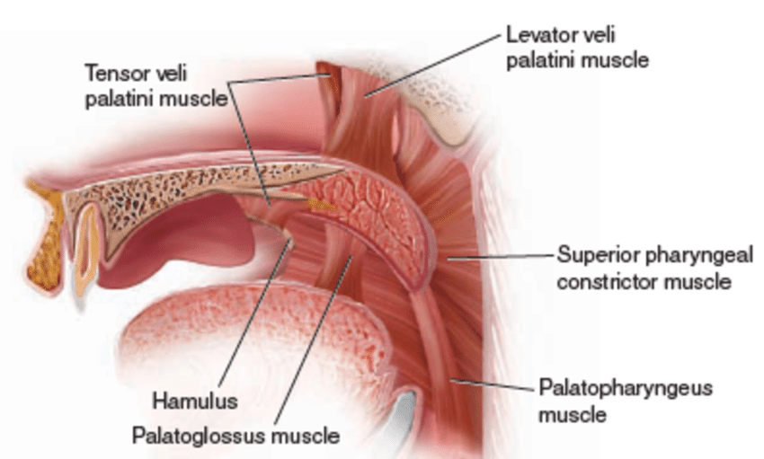 nerve of tensor muscle of soft palate