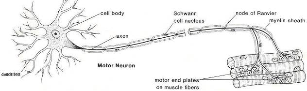 neurodendron