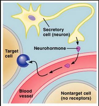 neurohormone