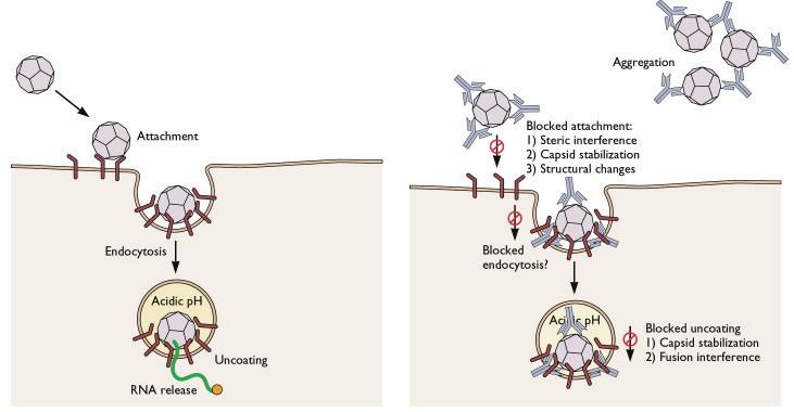 neutralizing antibody