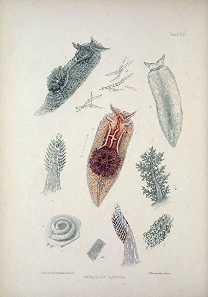 nudibranchiate