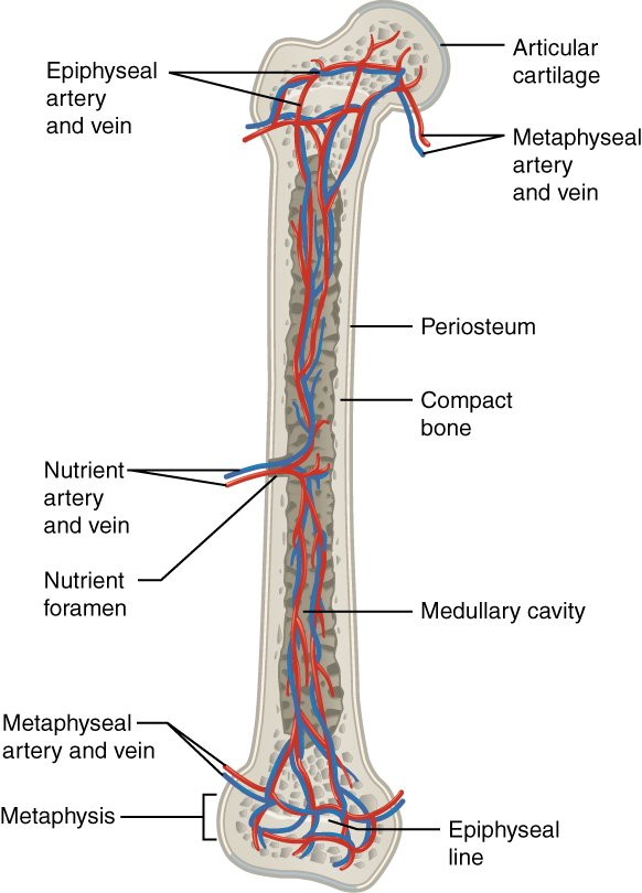 nutrient artery of humerus