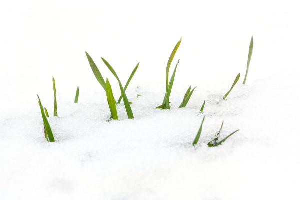 onion snow