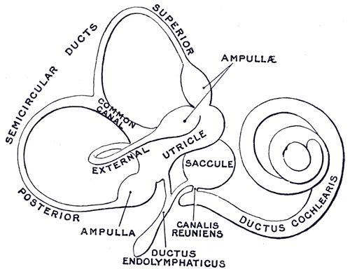 osseous ampulla