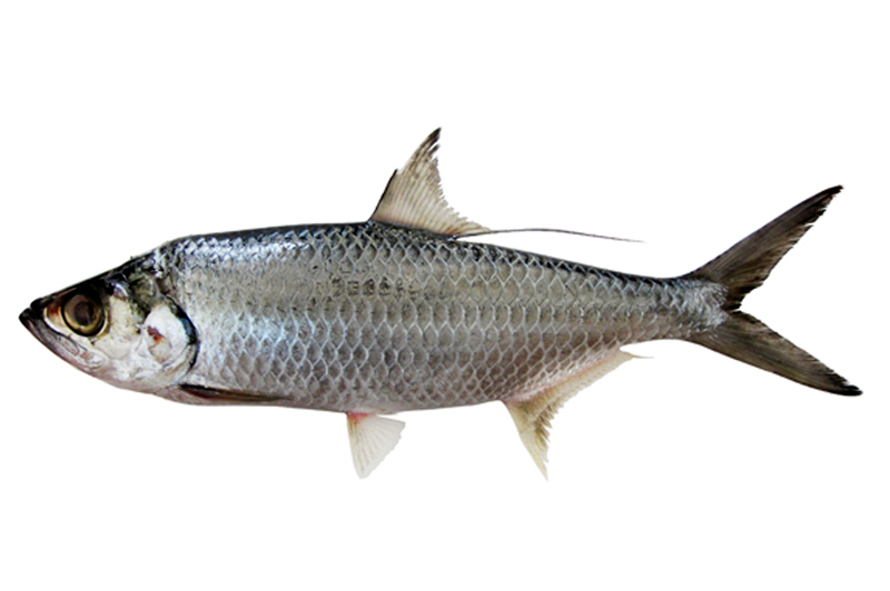 ox-eye herring