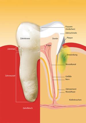 parodontium