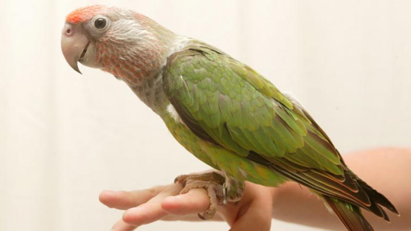 parrotlike