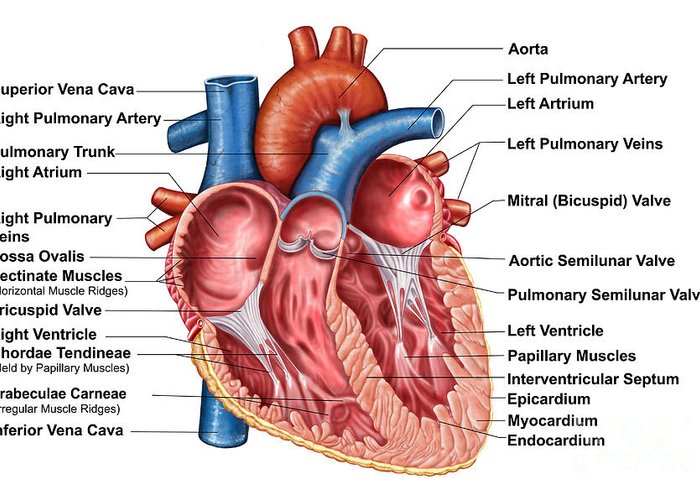 pectinate muscle