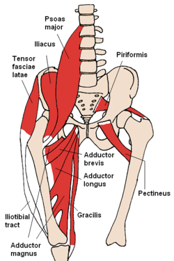 pectineal muscle