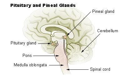 pedunculus of pineal body