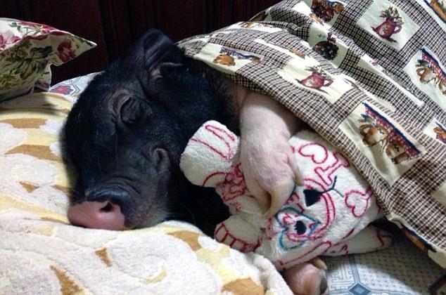 pig bed