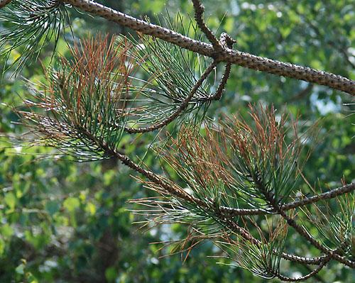 pine leaf aphid