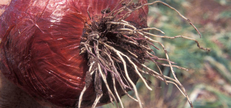 pink root