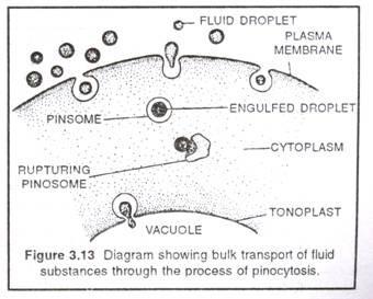 pinosome