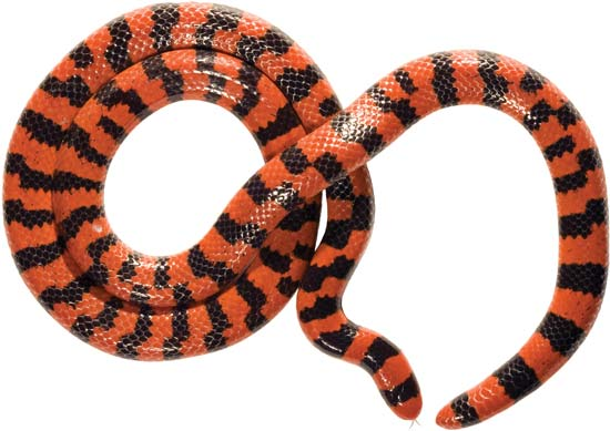 pipe snake