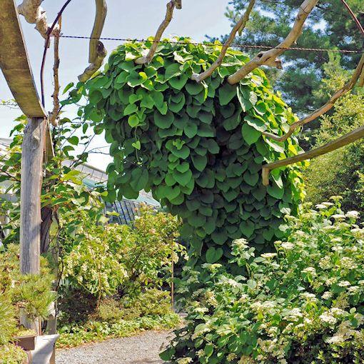 pipe vine