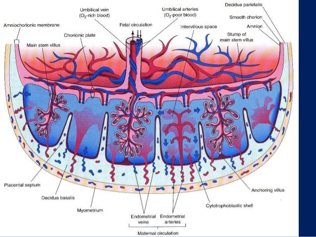 placental membrane