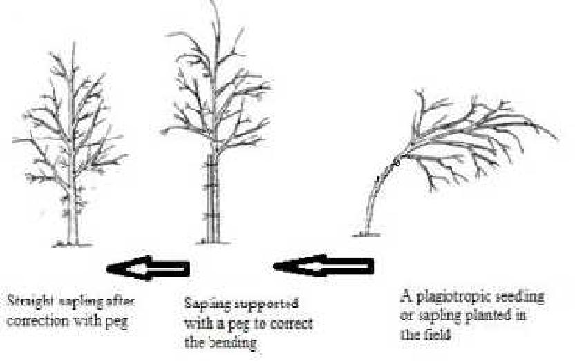 plagiotropic