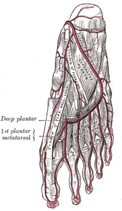 plantar digital artery