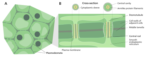 plasmodesma