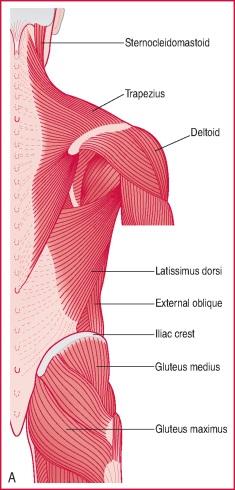 quadrate muscle of loins
