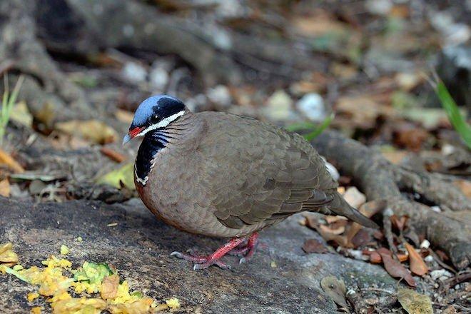 quail dove