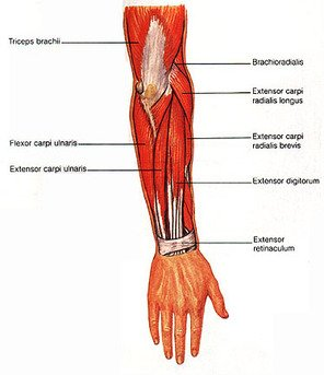 radial extensor muscle of wrist