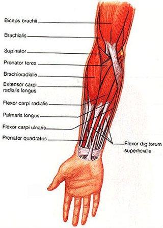 radial flexor muscle of wrist