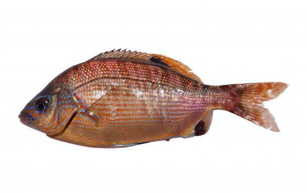 rainbow seaperch