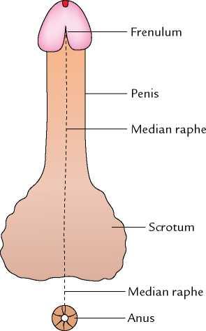 raphe of penis