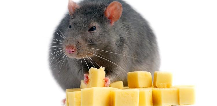 rat cheese