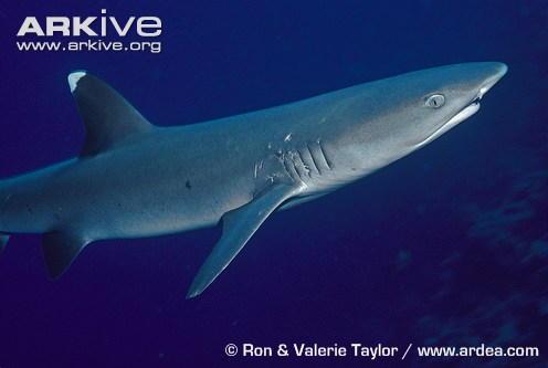 reef whitetip shark