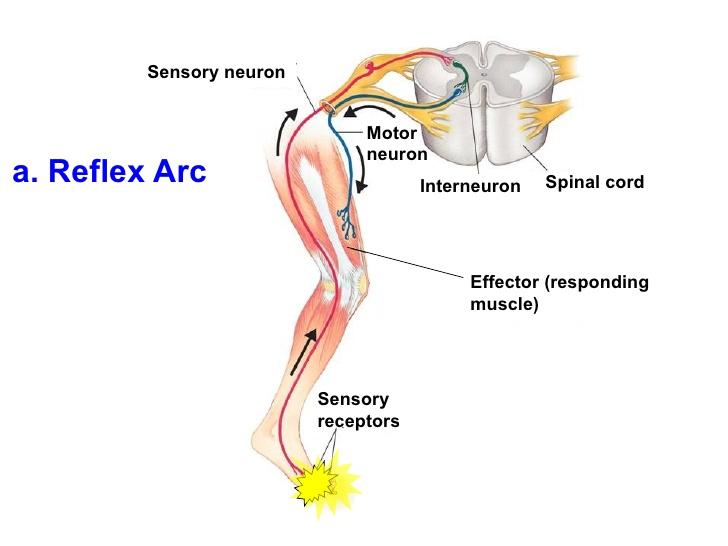 reflex-act